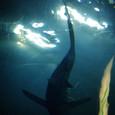 ゆらゆらと泳ぐ鮫