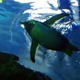 ジェンツーペンギンが泳ぐ