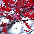 新穂高の紅葉