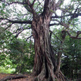 松尾のアコウ大樹