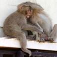 獅子岩駅の猿