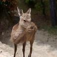 鹿くんも弥山登山