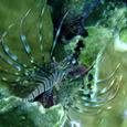 胸鰭を広げるミノカサゴ