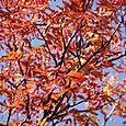 田の原の紅葉