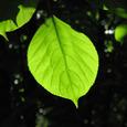 広葉樹の葉