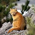 桜島火山猫